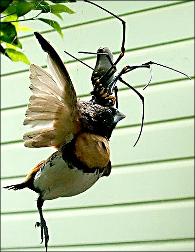 NOOO Ms. Banana Spider! Not the BIRD! (Haha...just kidding...the bird she's eating right now is way bigger than that one...)